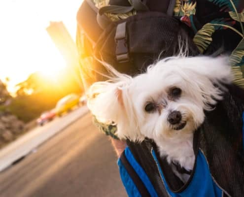 cane di servizio a Cuba